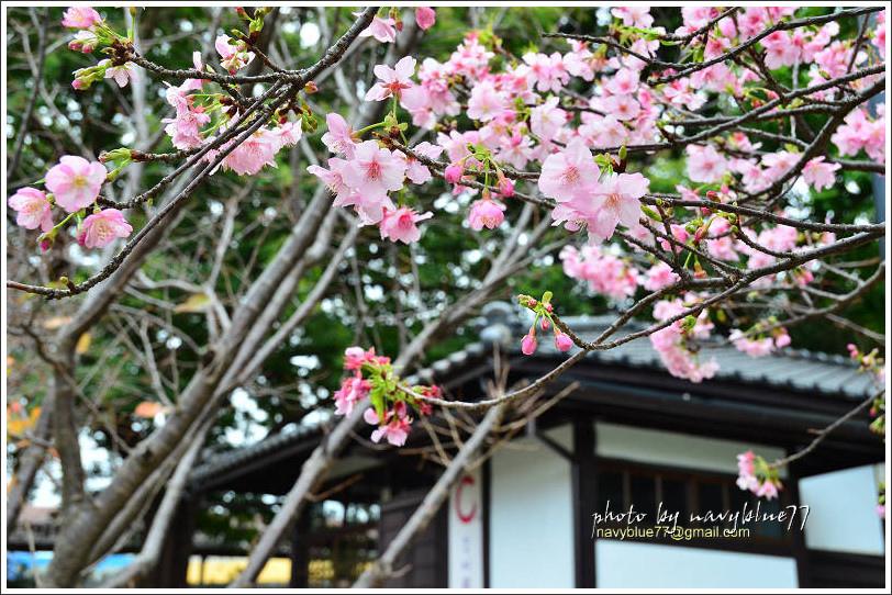 新竹麗池公園賞櫻24.jpg
