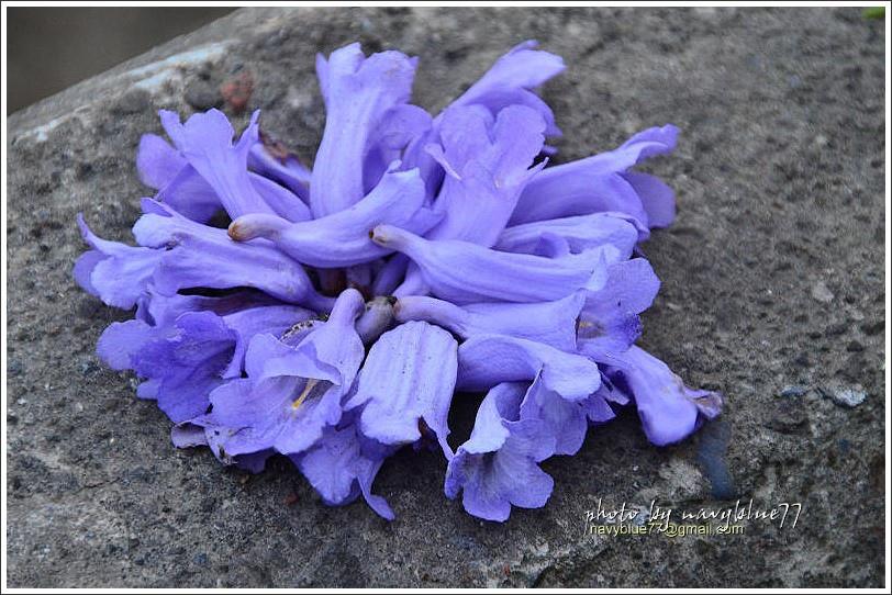 嘉義藍花楹花道12.jpg