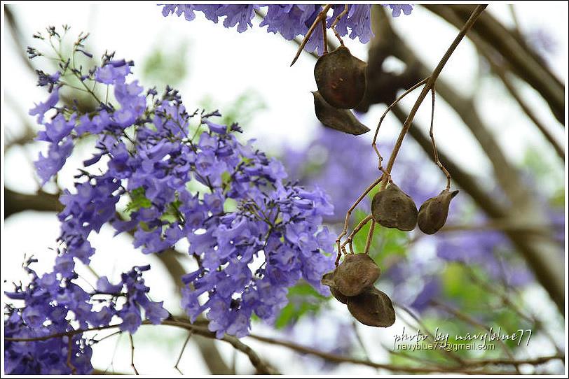 嘉義藍花楹花道26.jpg