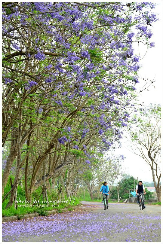 嘉義藍花楹花道31.jpg