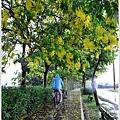 六腳自行車道阿勃勒10.JPG