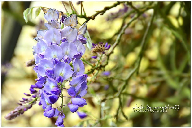 嘉義瑞里紫藤花12.JPG