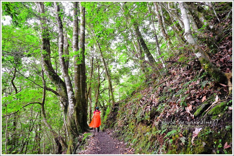 尖石鎮西堡巨木群步道14.JPG