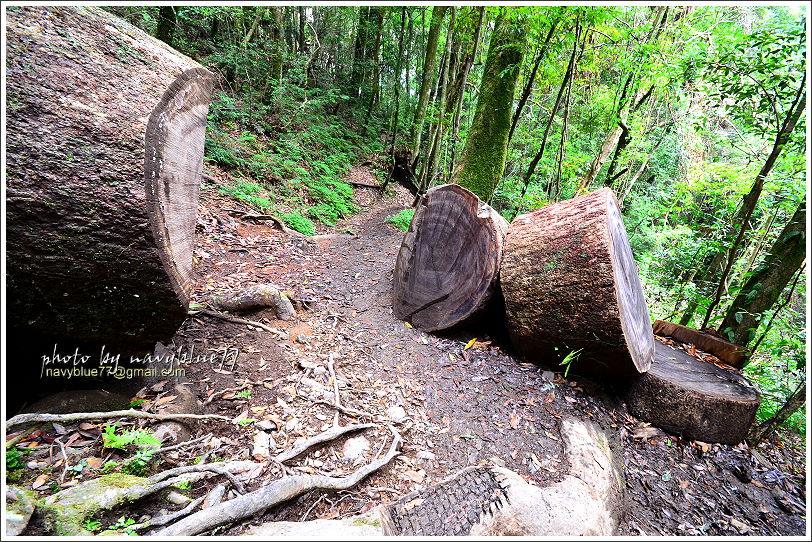 尖石鎮西堡巨木群步道23.JPG