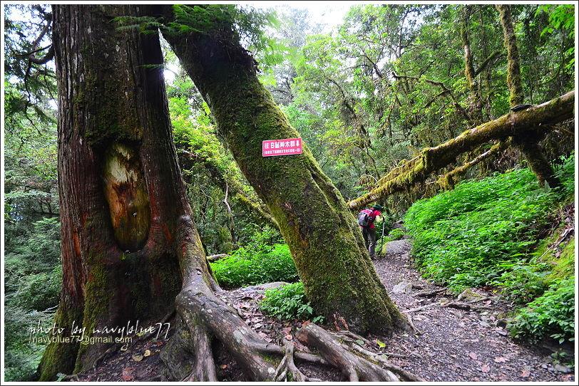 尖石鎮西堡巨木群步道33.JPG