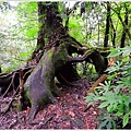 尖石鎮西堡巨木群步道38.JPG