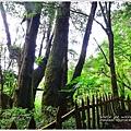 尖石鎮西堡巨木群步道51.JPG