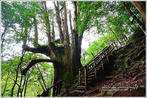 尖石鎮西堡巨木群步道55.JPG