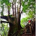 尖石鎮西堡巨木群步道57.JPG