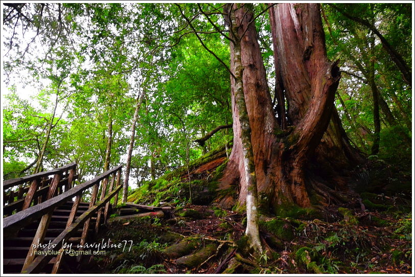 尖石鎮西堡巨木群步道58.JPG