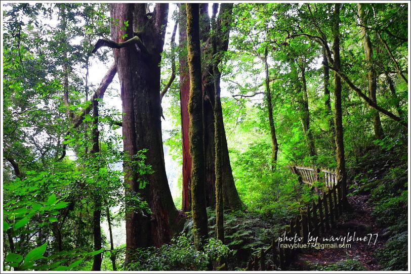 尖石鎮西堡巨木群步道62.JPG