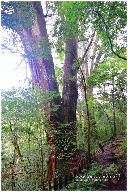 尖石鎮西堡巨木群步道68.JPG