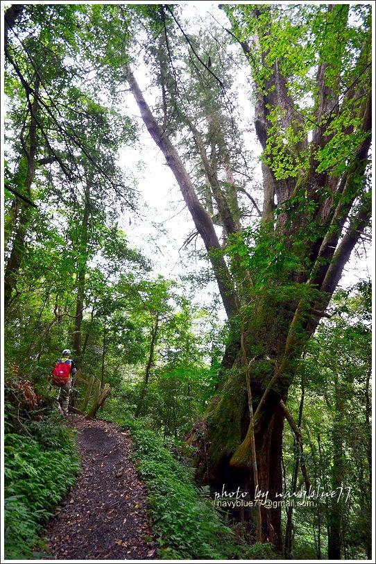 尖石鎮西堡巨木群步道88.JPG