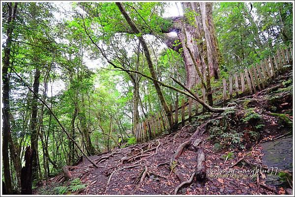 尖石鎮西堡巨木群步道94.JPG