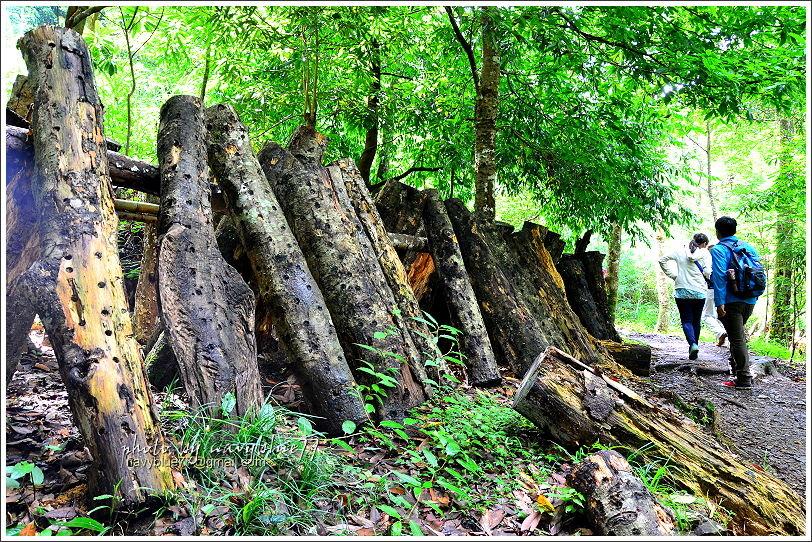 司馬庫斯巨木群步道21.JPG