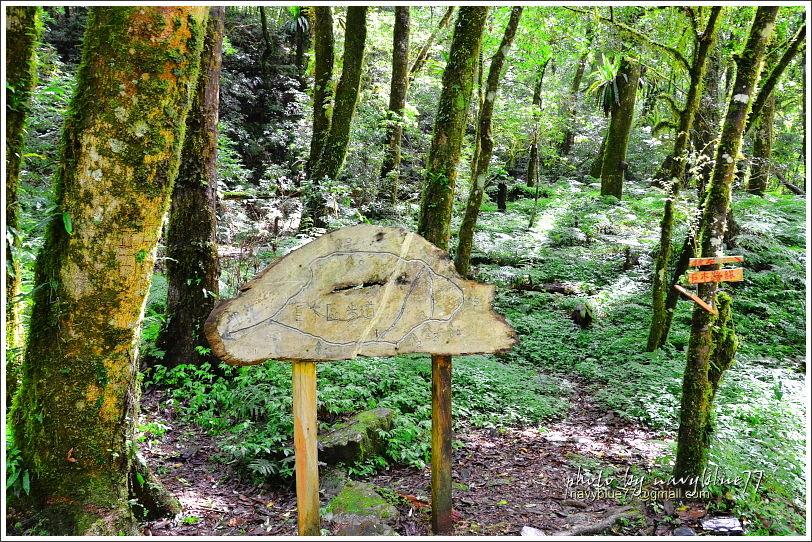 司馬庫斯巨木群步道30.JPG