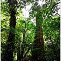 司馬庫斯巨木群步道35.JPG