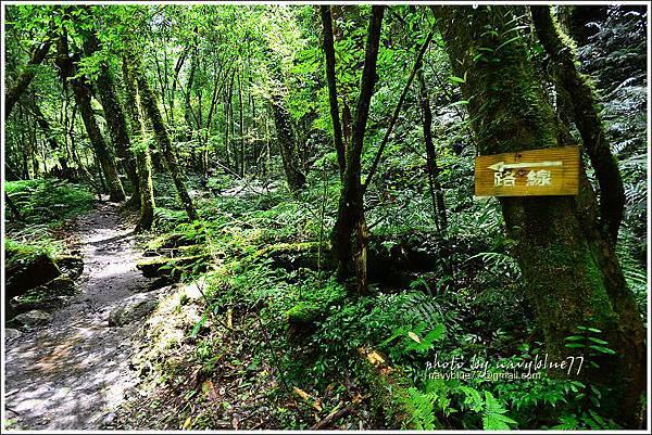 司馬庫斯巨木群步道39.JPG