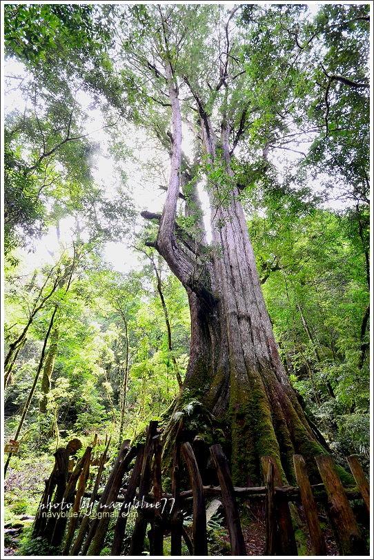 司馬庫斯巨木群步道43.JPG