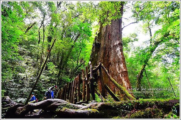 司馬庫斯巨木群步道46.JPG