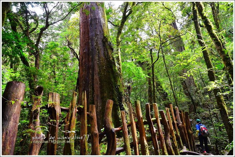 司馬庫斯巨木群步道48.JPG