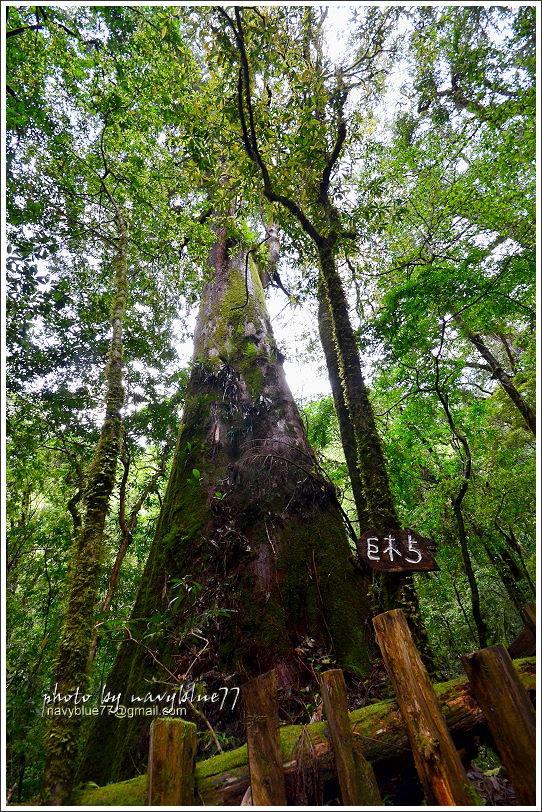 司馬庫斯巨木群步道49.JPG