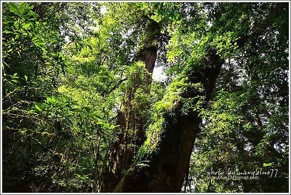 司馬庫斯巨木群步道51.JPG