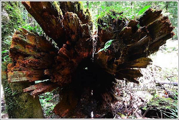 司馬庫斯巨木群步道52.JPG