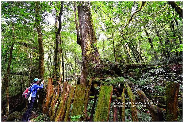 司馬庫斯巨木群步道53.JPG