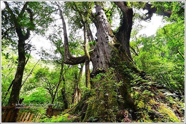 司馬庫斯巨木群步道57.JPG