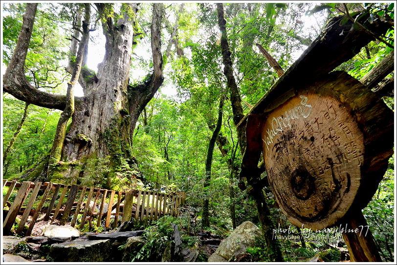 司馬庫斯巨木群步道58.JPG