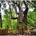 司馬庫斯巨木群步道59.JPG