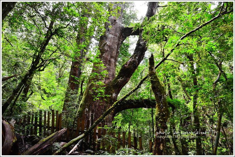 司馬庫斯巨木群步道61.JPG