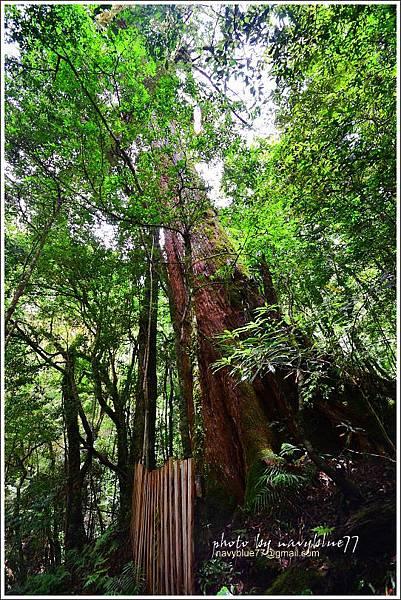司馬庫斯巨木群步道68.JPG
