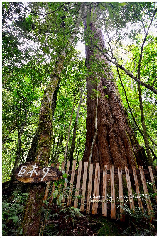 司馬庫斯巨木群步道70.JPG