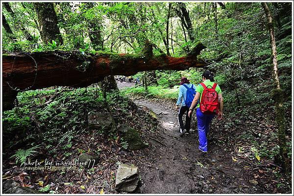 司馬庫斯巨木群步道72.JPG