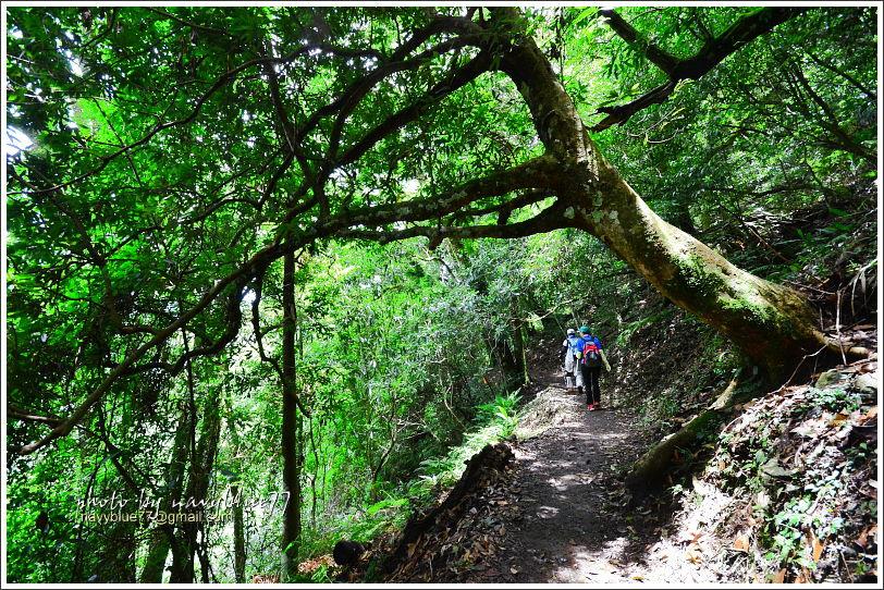 司馬庫斯巨木群步道74.JPG