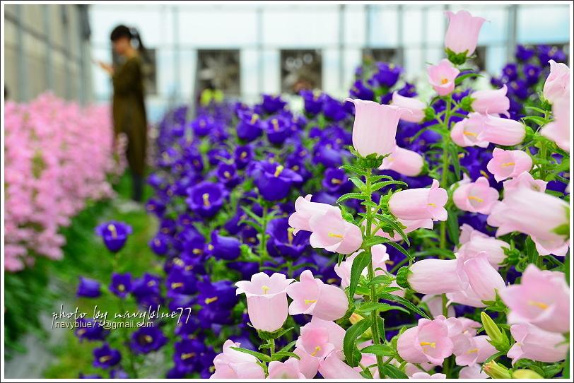 斗南石龜溪風鈴花25.JPG