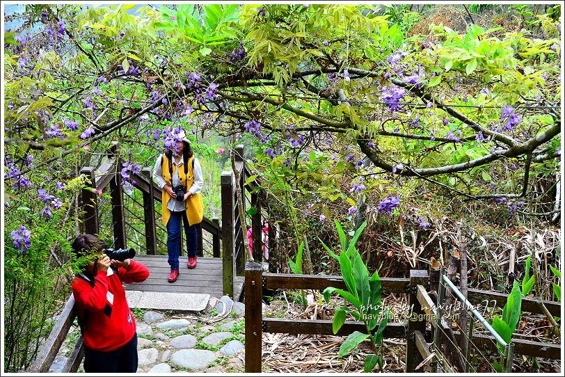 2017瑞里紫藤花季11.JPG