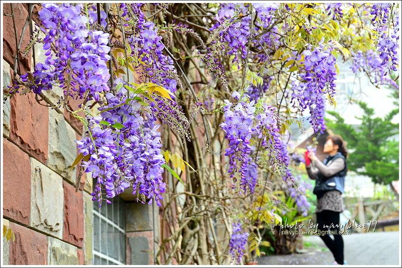 2017瑞里紫藤花季22.JPG