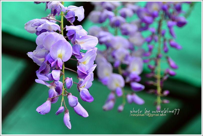 2017瑞里紫藤花季30.JPG