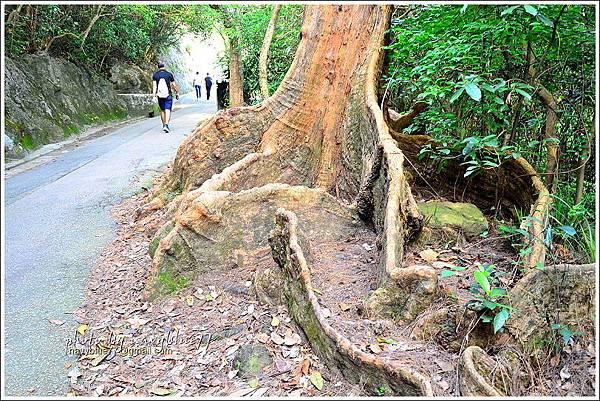 香港太平山頂環迴步行徑19