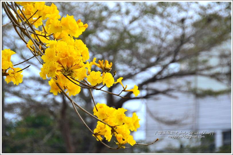 八掌溪黃金風鈴木