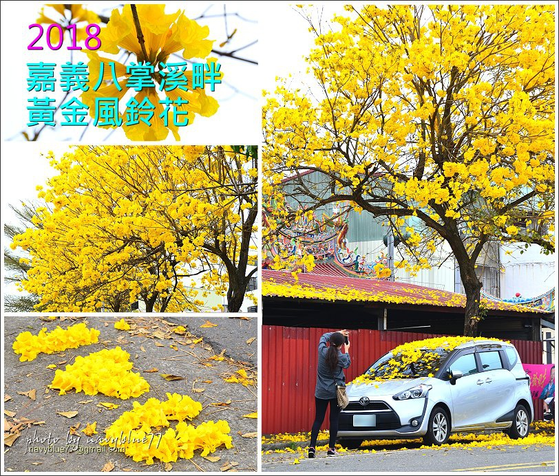八掌溪黃金風鈴木35.JPG
