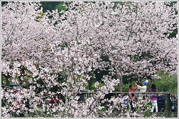 阿里山公路賞櫻13.JPG