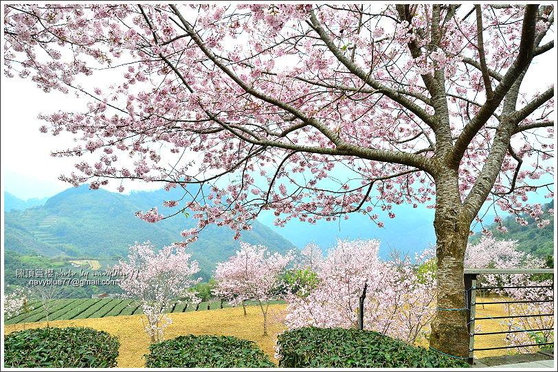 阿里山公路賞櫻15.JPG