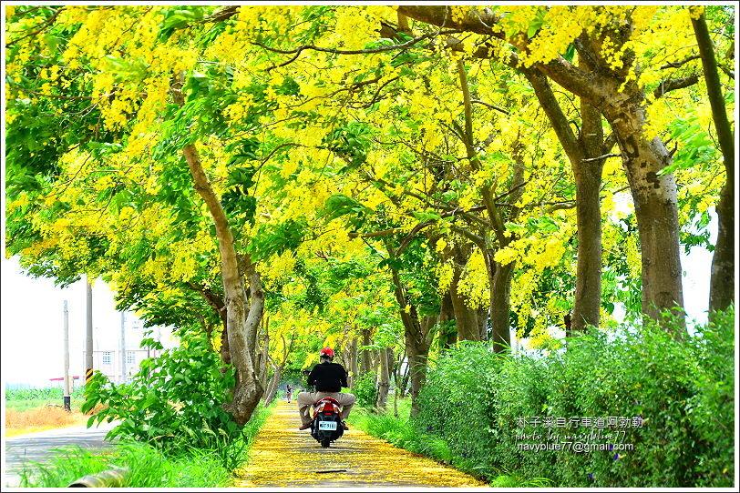 朴子溪自行車道阿勃勒03.JPG