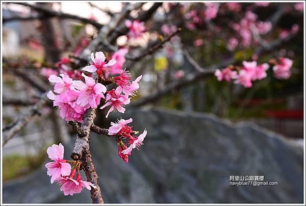 阿里山公路賞櫻 (1).JPG
