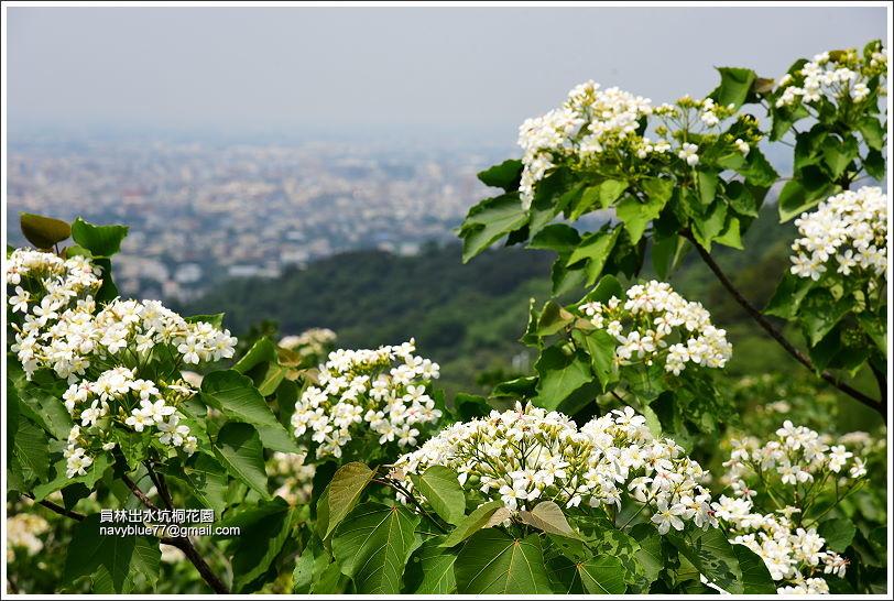 員林出水坑桐花園 (7).JPG