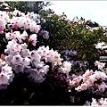 合歡群峰玉山杜鵑 (10).JPG